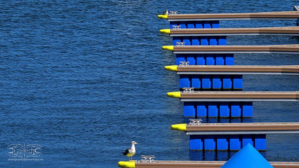 harbour-dove