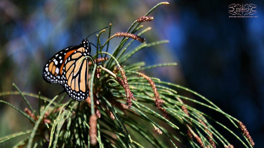 Monarch / Danaus plexippus